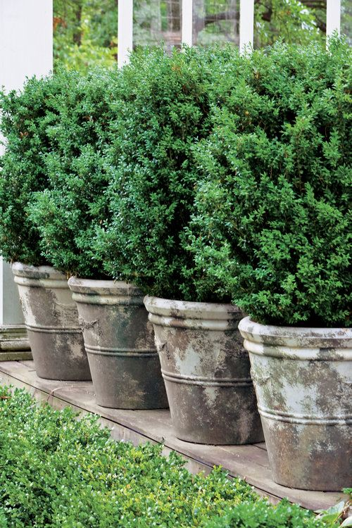 25 Best Ideas About Shrubs On Pinterest Landscaping Shrubs