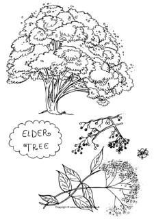 17 Best images about Elderberry Art on Pinterest