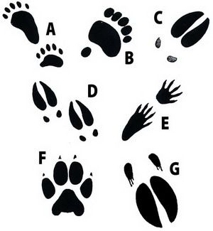 19 best images about Cub Scouts Animal Tracks on Pinterest