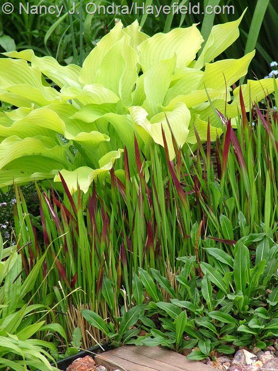 472 Best Images About Gardening Hosta & Fern Love ♥ On