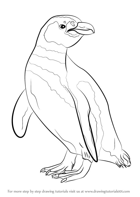 Learn How to Draw a Magellanic Penguin (Antarctic Animals