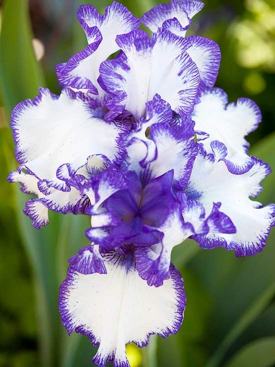 Bearded irises grace spring garden with color and perfume. Available in almost e