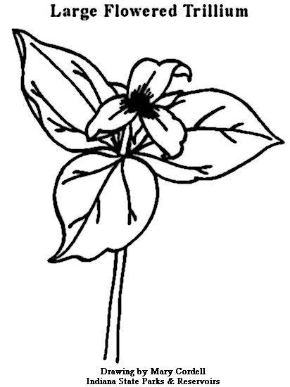 14 best images about trillium flowers on Pinterest