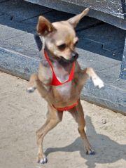 short hair chihuahua dogs