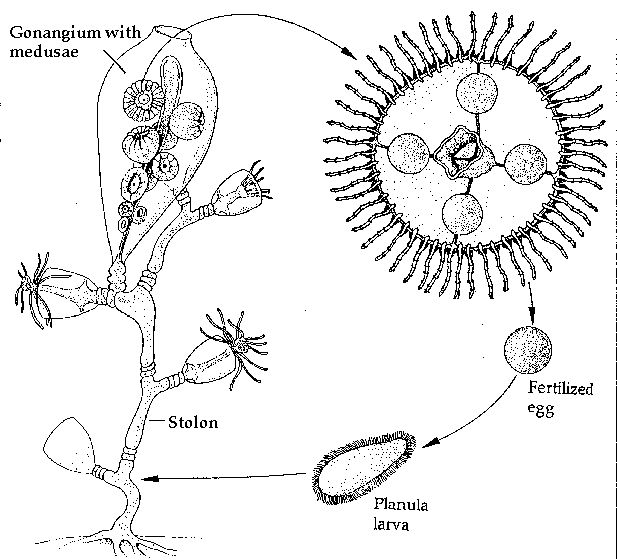 17 Best images about Jellyfish and Hydra Life-Cycles on
