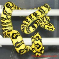 1000+ images about Hiss Hisses on Pinterest | Python ...