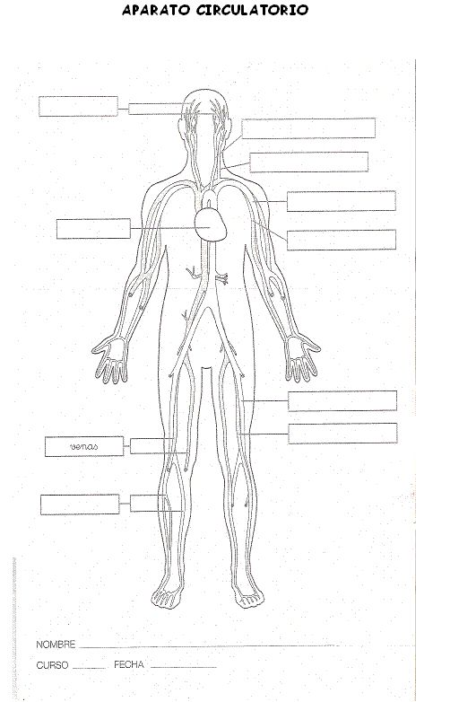 69 best images about Cuerpo Humano on Pinterest
