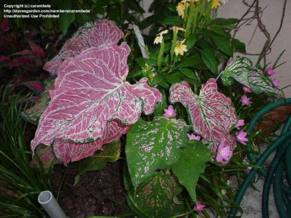 223 best images about Hibiscus caladium on Pinterest
