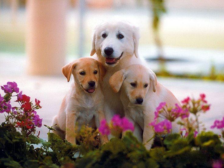 Image result for labrador dog images free download