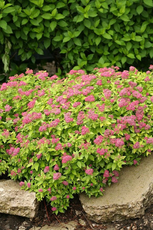 double play gold - spirea spiraea