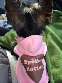 25+ best ideas about Yorkie clothes on Pinterest