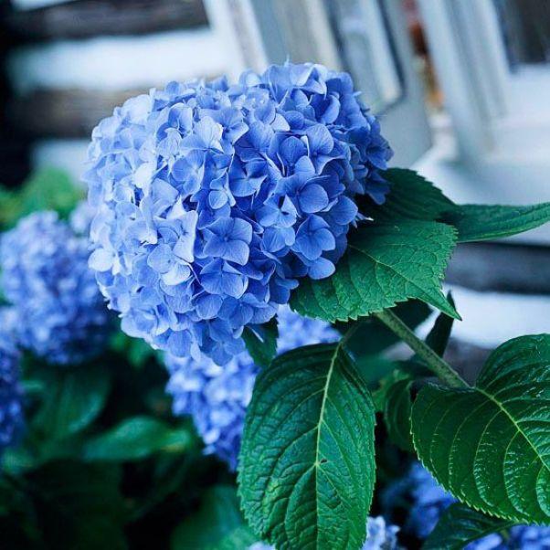 Le ortensie vengono scelte da molti amanti dei fiori come piante ornamentali perché durante la fioritura riescono a creare atmosfere davvero suggestive