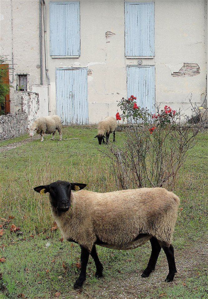 50 best images about Suffolk sheep on Pinterest