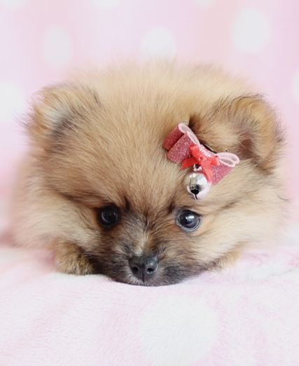 Fluffy Pom Puppy!  #pomeranian #teacups #puppies