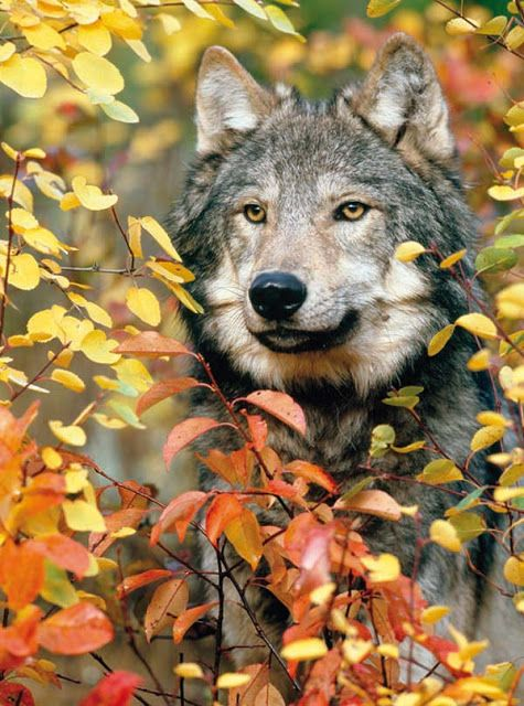 Fall Leaves Fox Wallpaper White Wolf Breathtaking Photos Of Wolves In The Woods