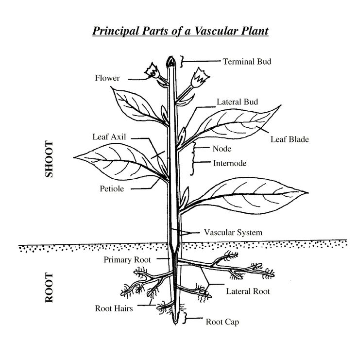 25+ best ideas about Vascular plant on Pinterest