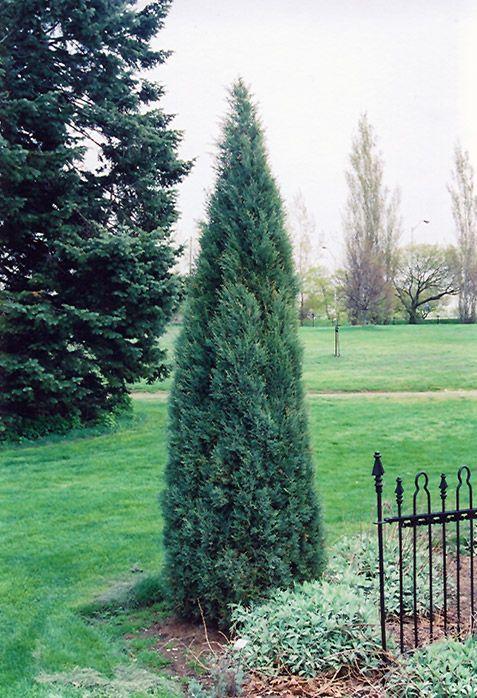 narrow trees
