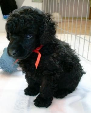 Saint Cute Puppy Hd Wallpaper Dog Breed Black Miniature Poodle This Is Going To Be My