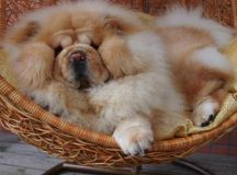 Chow Chow in a basket....too cute! | Dogs and Puppies | Pinterest | Puppys, Too cute and Big ...