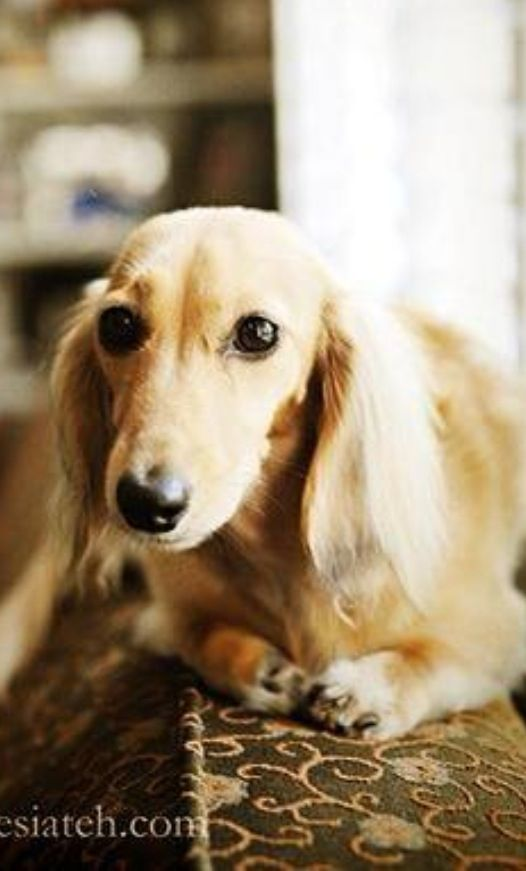 17 Best Images About Long Hair Dachshunds On Pinterest