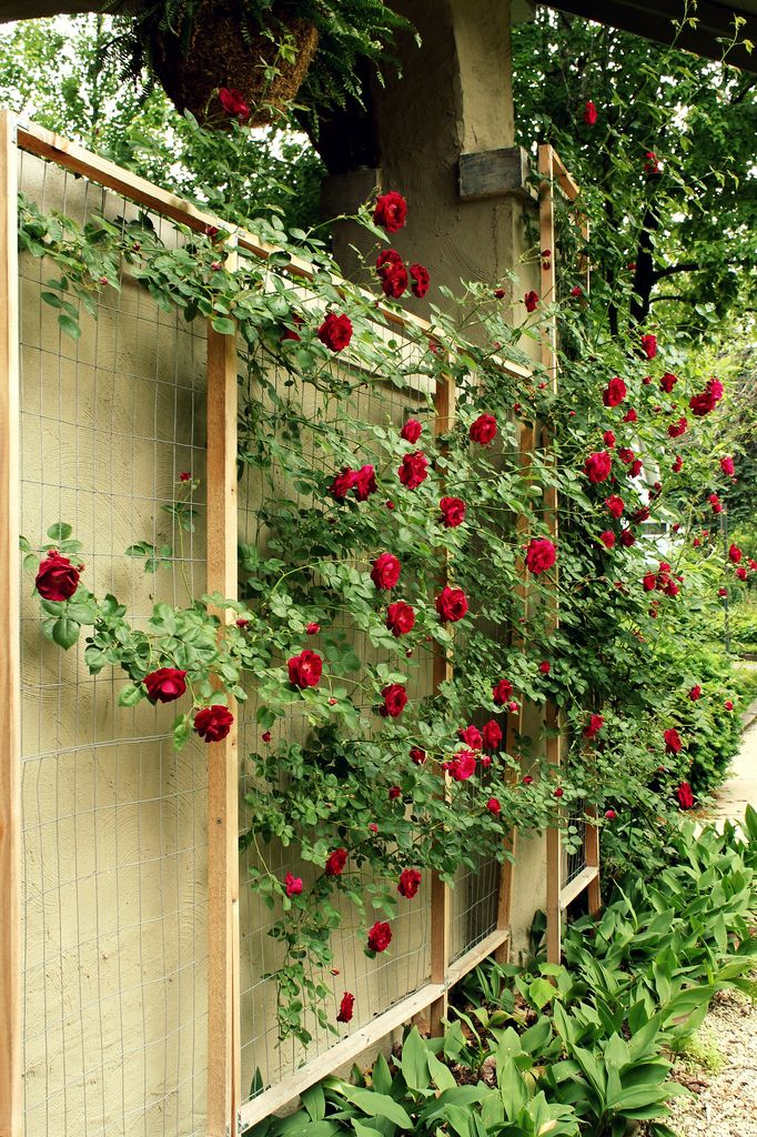 25 Best Ideas About Rose Trellis On Pinterest Trellis Ideas