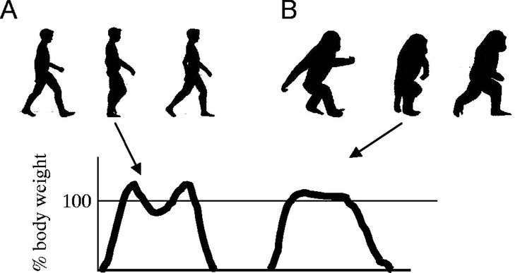 This image shows the development of upright walking in