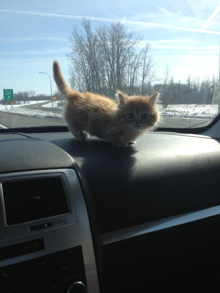 18 best images about I need a midget cat on Pinterest