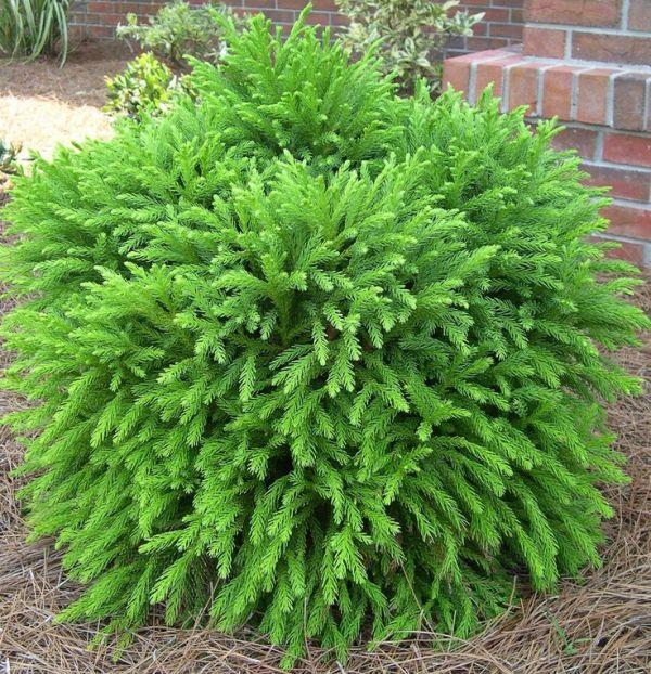 evergreens small yards