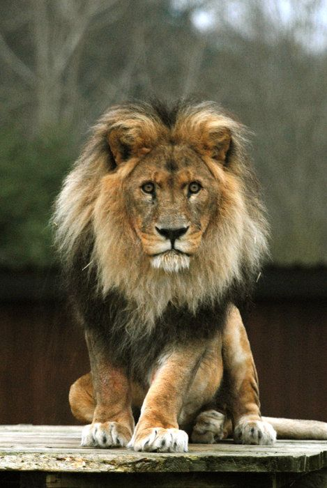 709 best images about MY LEO LION  Strong on Pinterest