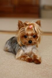 15 - yorkshire terrier haircut