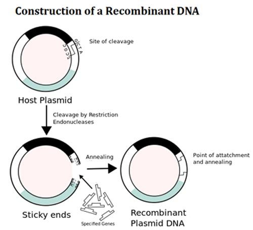 17 Best ideas about Recombinant Dna on Pinterest