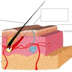 Skin Cross Section Diagram 2002 Honda Accord 2 3 Timing Belt Showing The Layers Of | Pinterest Hair Follicles, And