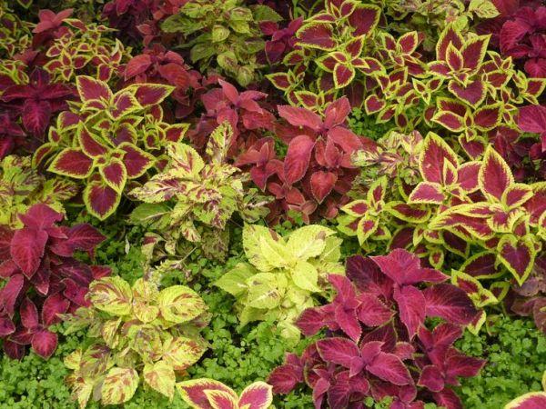 red leaf florida plants
