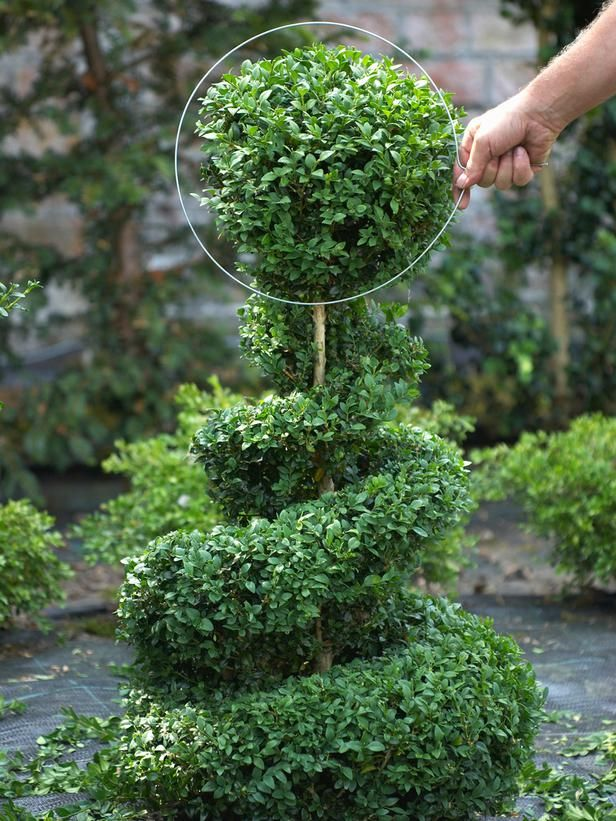 25 Best Ideas About Boxwood Topiary On Pinterest Topiary Garden