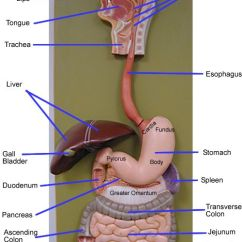 Large Intestine Anatomy Diagram Labeled Two Way Light Switch Wiring Canada Digestive System Model - Google Search | Anatomy/physiology Pinterest Search, And Models