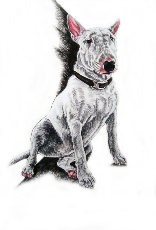 English Bull Terrier Pastel And Charcoal Draw My Pets