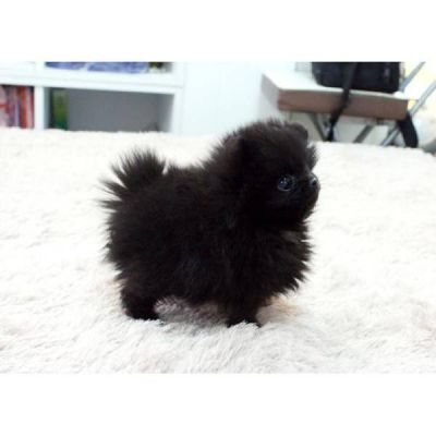 17 Best ideas about Teacup Pomeranian Puppy on Pinterest