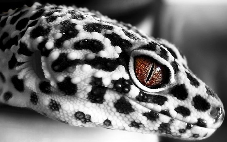 Cute Baby Gecos Wallpaper Gecko Leopard Click Here To Find Out More Http
