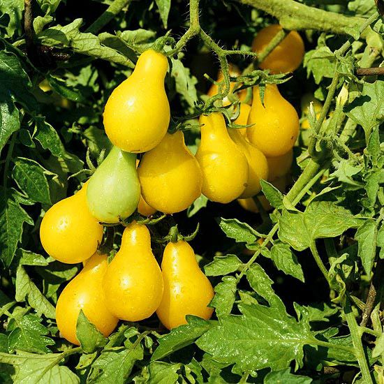 21 best images about Yellow Tomatoes on Pinterest | Lemon ...
