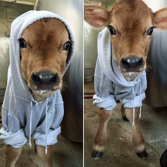 Best 25 Baby cows ideas on Pinterest