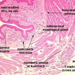 Skeletal Muscle Labeled Diagram Print Goodman Furnace Control Board Wiring Esophagus Slide -   Anatomy & Physiology/medical Pinterest Search