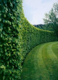 1000+ ideas about Privacy Plants on Pinterest | Outdoor ...