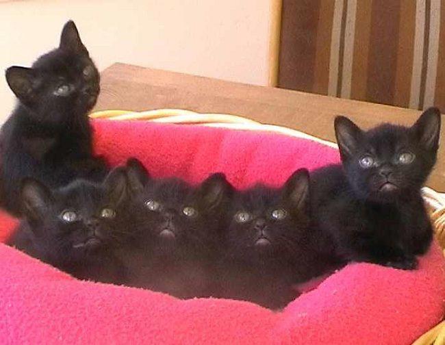 Fall Kitten Wallpaper 81 Best Images About Bombay Amp Burmese Cats On Pinterest