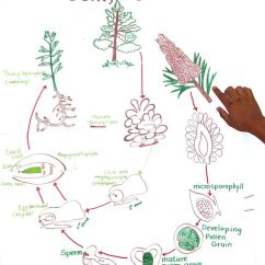 Life Cycle Of A Labeled Moss Diagram Caravan Consumer Unit Wiring Conifers Cc 1 Week 8 | Classical Conversations Pinterest