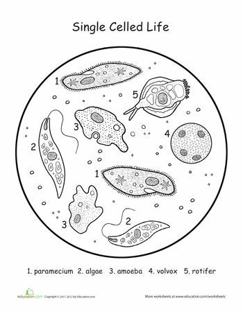 22 best Maria's science protista images on Pinterest