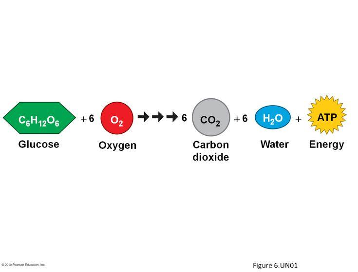 cellular respiration diagram worksheet 4 way trailer connector wiring pinterest • the world's catalog of ideas
