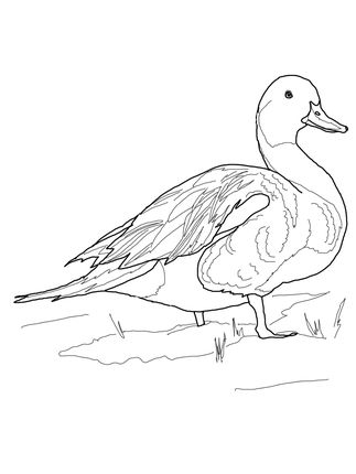 Ducks, Coloring pages and Coloring on Pinterest