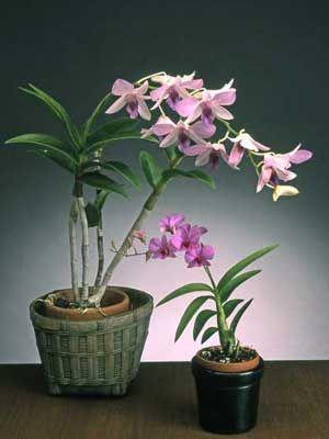 17 Best Ideas About Dendrobium Orchids On Pinterest