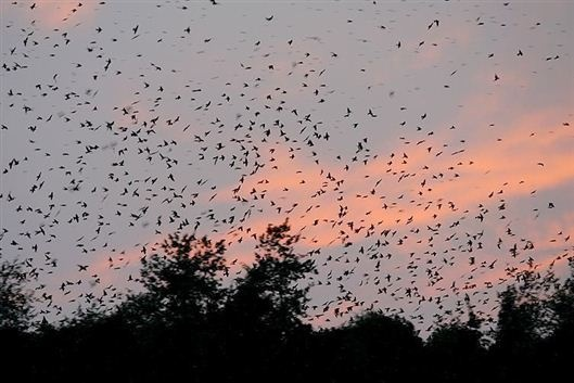 Purple Martins Flock At Bomb Island Lake Murray South Carolina Places I39m Glad I39ve Been