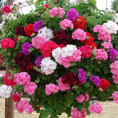 25 Best Ideas About Geraniums On Pinterest Geranium Plant